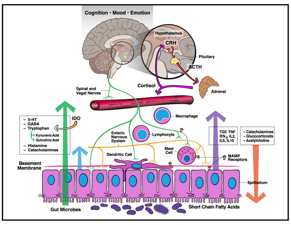 [Obrazek: Microbiota-gut-brain_000.png]